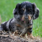 Longhaired Miniature Dachshund Puppy Blue Merl License Download Or Print For 18 60 Photos Picfair