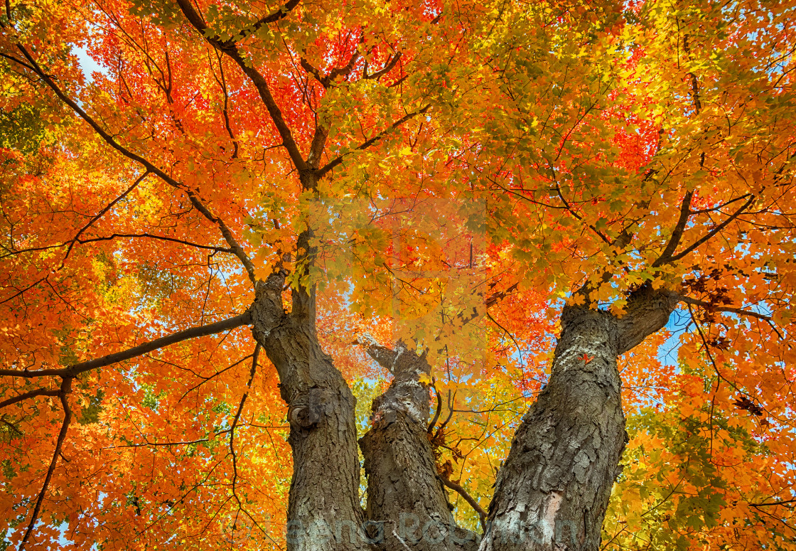 Upward View Of A Big Maple Tree With Colorful Autumn