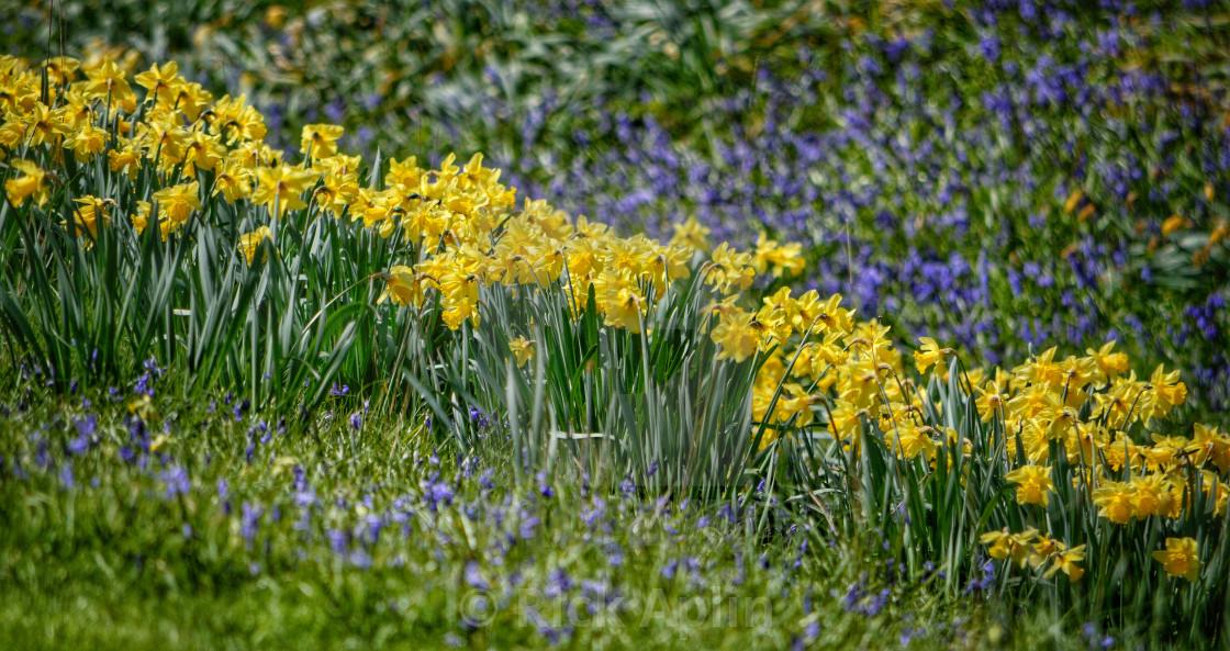 Daffodil and Lavender - License, download or print for £2.48 | Photos |  Picfair