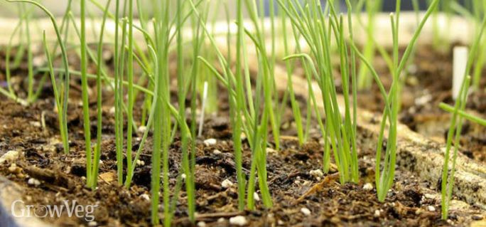 Image result for small onion pot garden