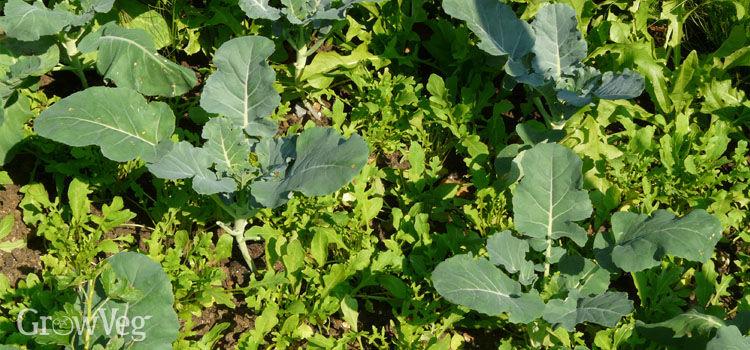 Arugula interplanted with cauliflowers