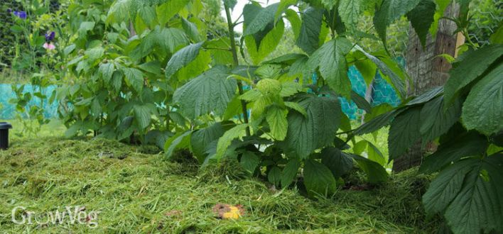 Raspberries with grass clipping mulch