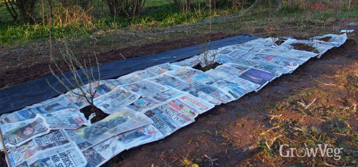 Newspaper mulch in a fruit garden