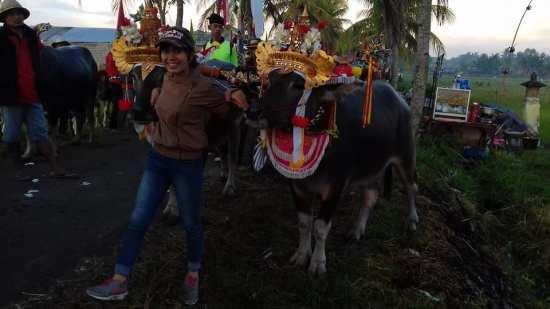 Mekepung Tradisi Masyarakat Jembrana Bali