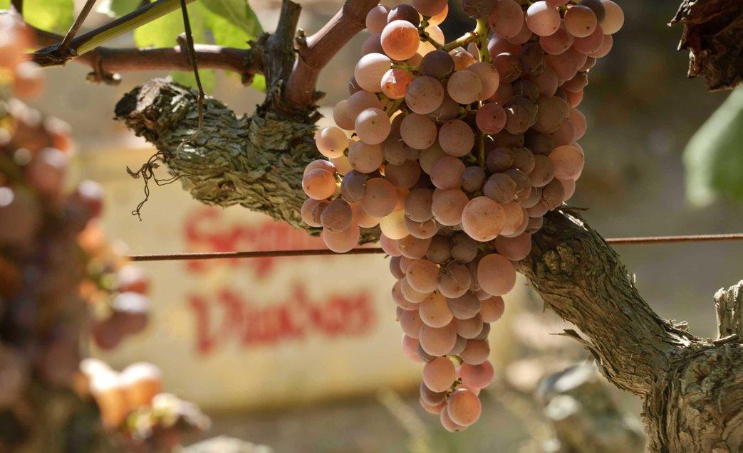 Uvas-Cava-los espumantes-españoles-ecónomicos-El-Portal-del-chacinado