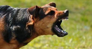 dog ears aggressive