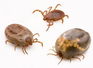 Types of Ticks