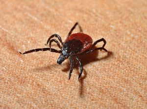 Tick at home