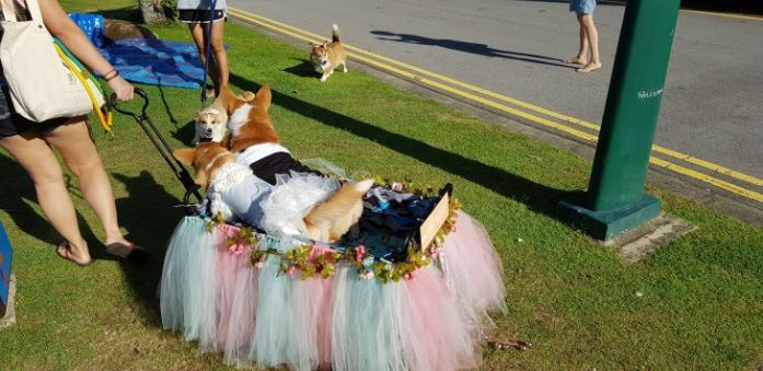 bridegroom butts singapore corgi