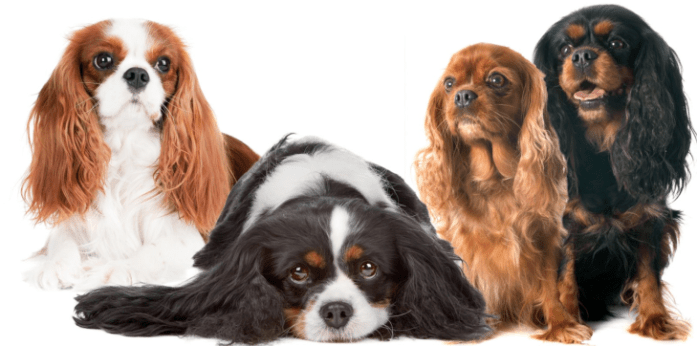 hdb approved dogs Cavalier spaniel