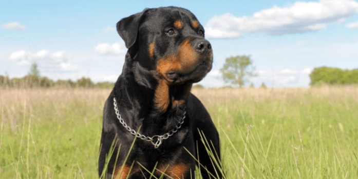 expensive dog breed Rottweiler