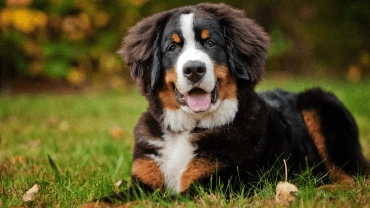 expensive dog breeds Bernese Mountain dog