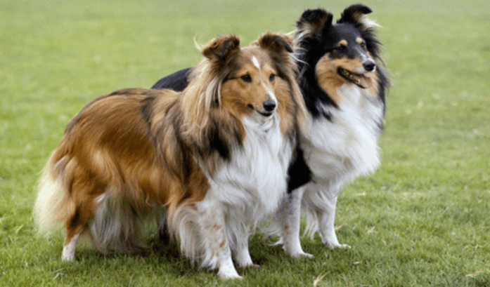hdb approved dogs Shetland Sheep Dog