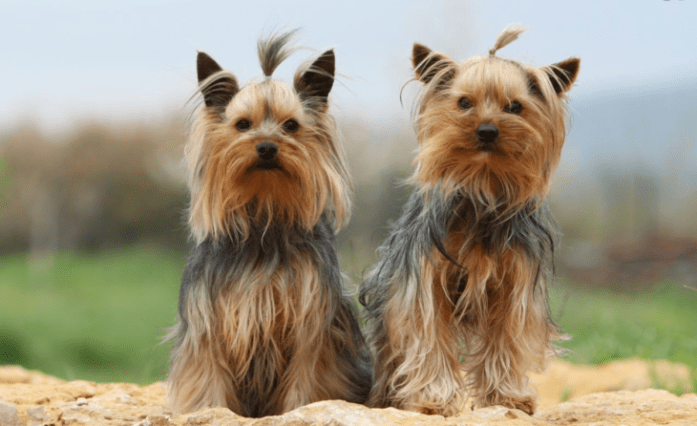 hdb approved dogs Yorkshire Terrier
