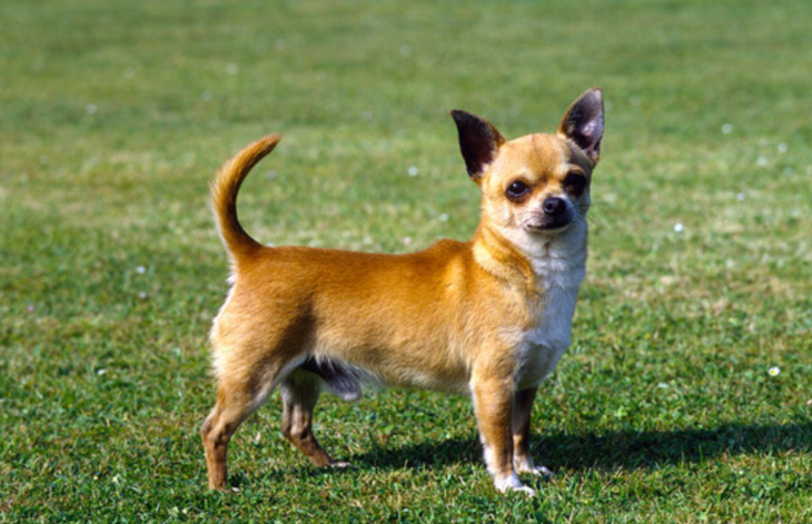 hdb approved dogs Chihuahua