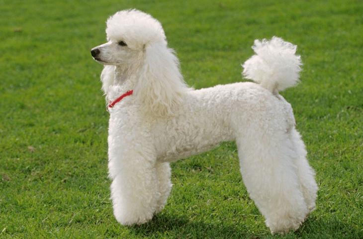 hdb approved dogs Poodle
