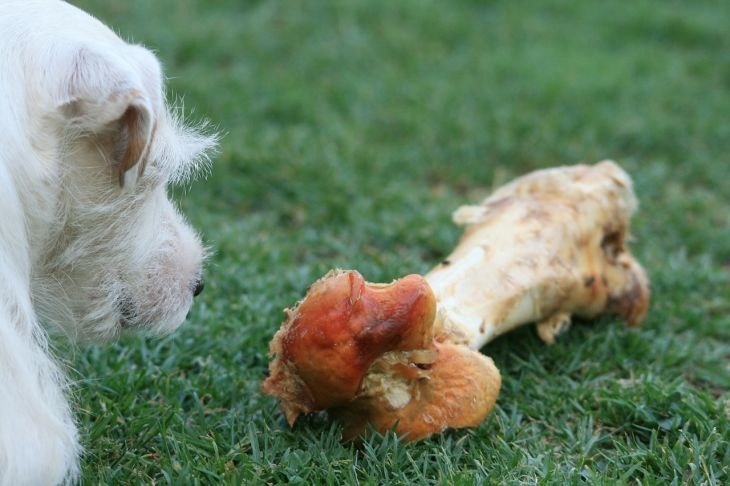 jack russell dog bone