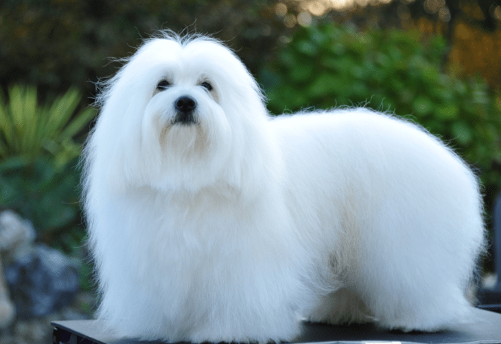 hdb approved dogs Coton de Tulear