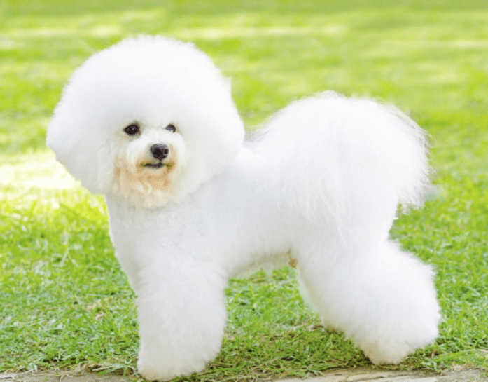 hdb approved dogs Bichon Frise