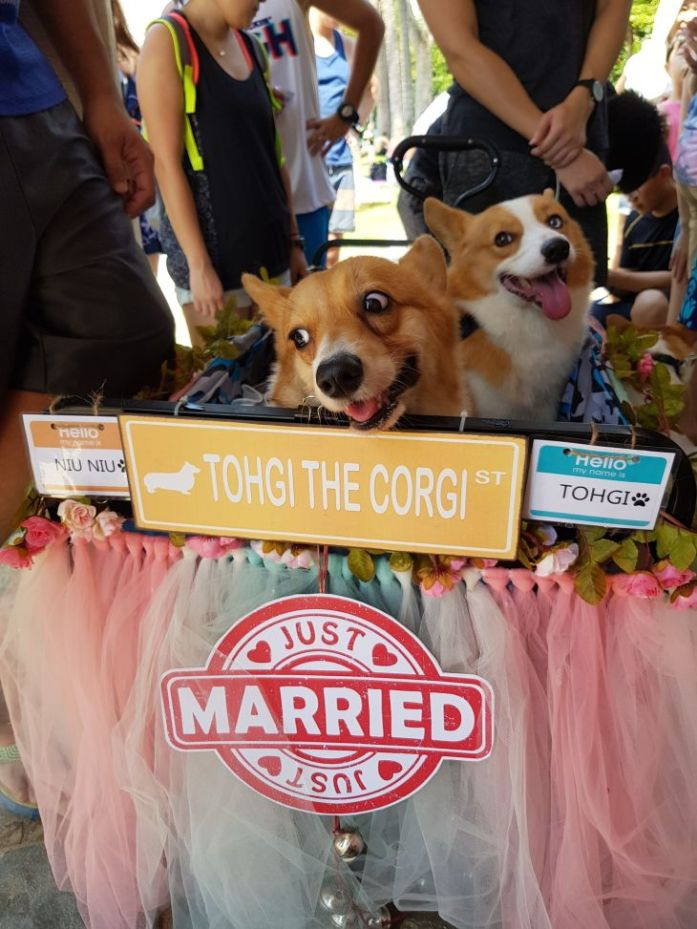 singapore corgi wedding 2