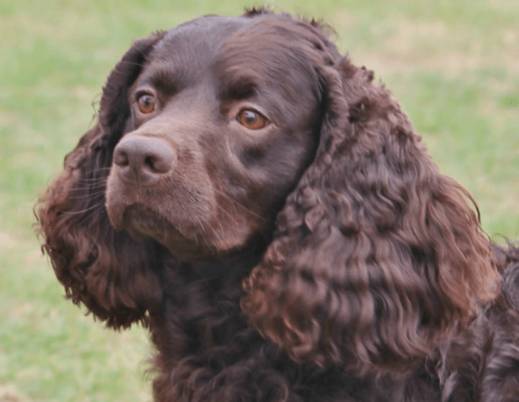 rare dog breeds American Water Spaniel