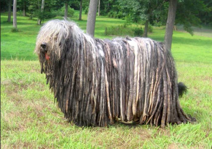 rare dog breeds BERGAMASCO SHEEPDOG