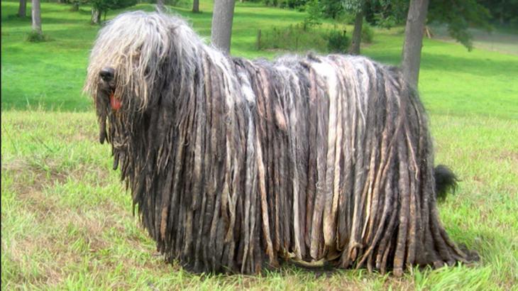 10 Rare Dog Breeds You Ve Probably Never Heard Of Kohepets Blog