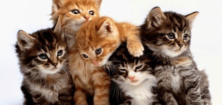 singapore-kittens