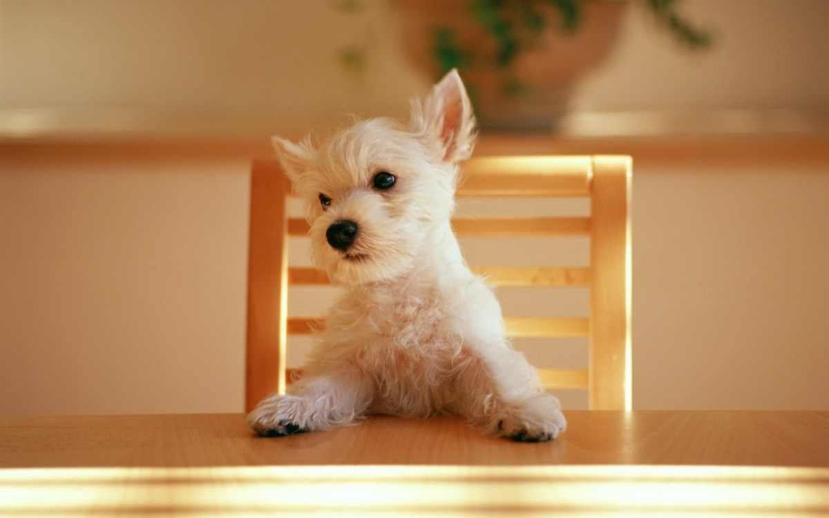 Westie at table