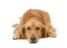 Lazy golden Retriever