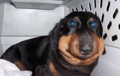 Dog with allergic reaction