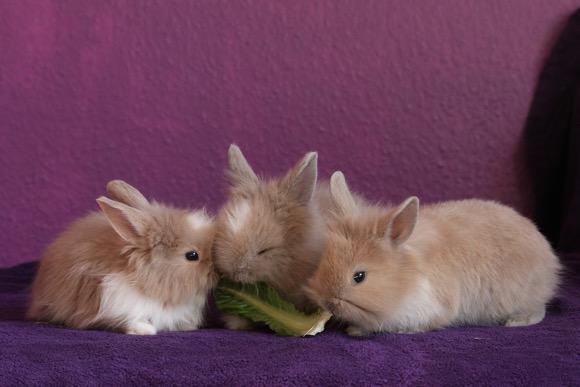 three-rabbit-eating