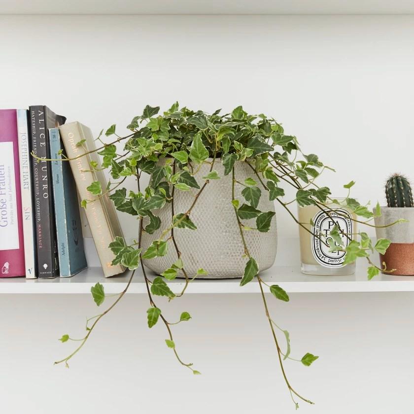 english ivy plant on a bookshelf