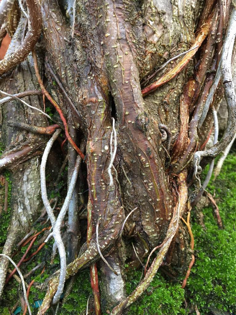 Moreton bay fig (Ficus macrophylla) / Red Wolf