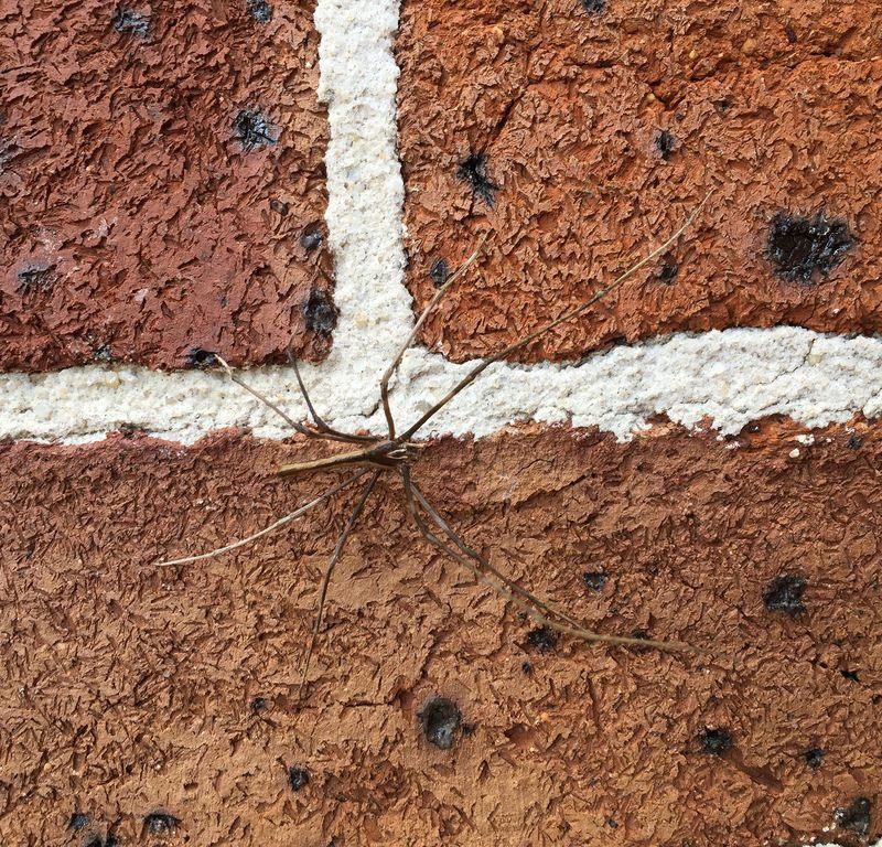 Rufous Net Casting Spider (Deinopis subrufa) / Red Wolf