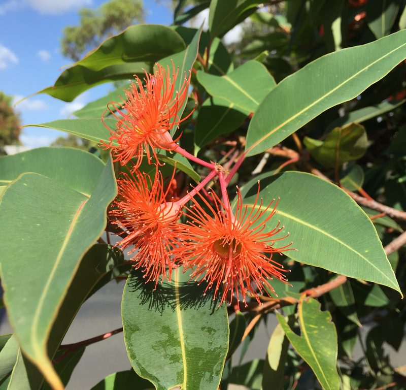 Flowering Gum (Corymbia ficifolia) / Red Wolf