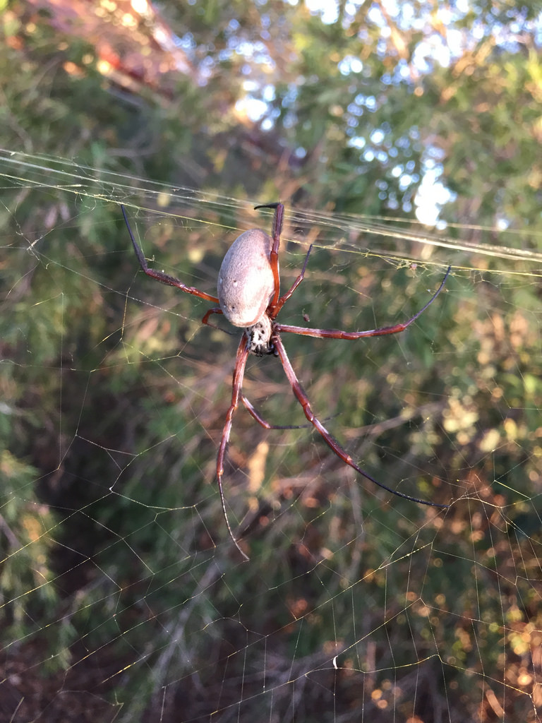 Golden Orb Weaver + St Andrew's Cross Spider / Red Wolf