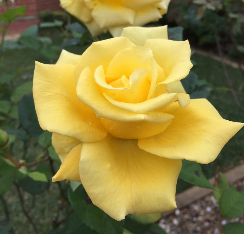 Yellow Rose + Camellia japonica / Red Wolf