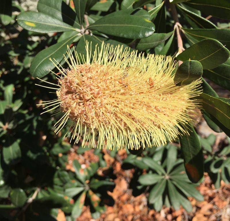 Coast banksia (Banksia integrifolia) / Red Wolf