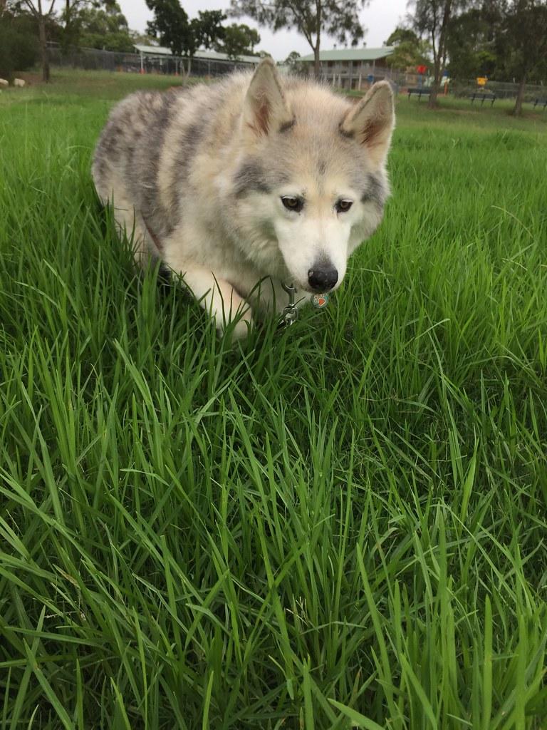 Grass pod / Red Wolf