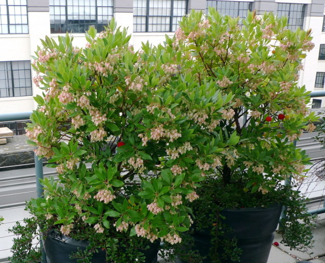 Image result for arbutus unedo compacta