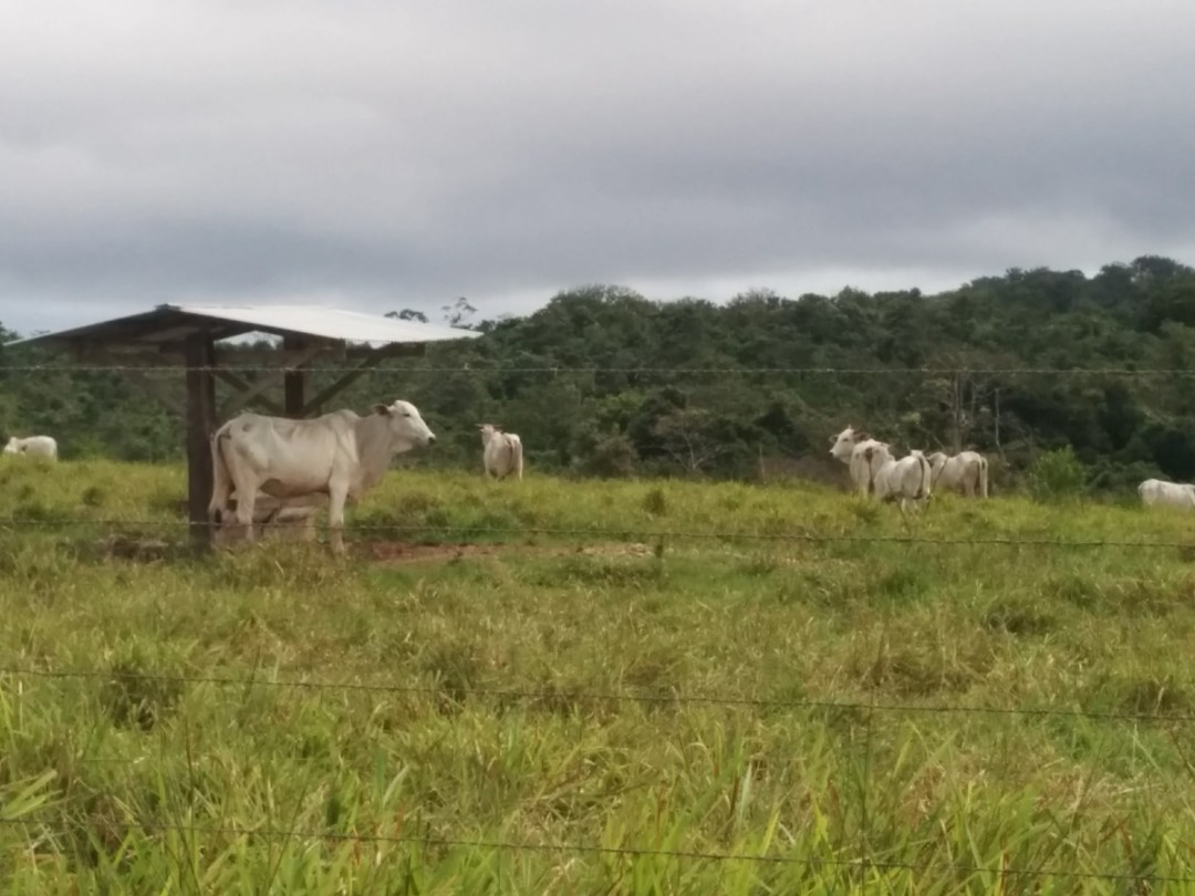 Cows in a pasture along the road to Cobano