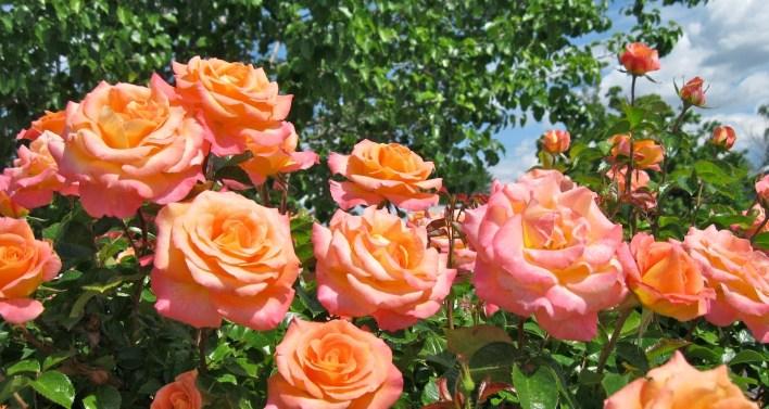 Mawar Peach