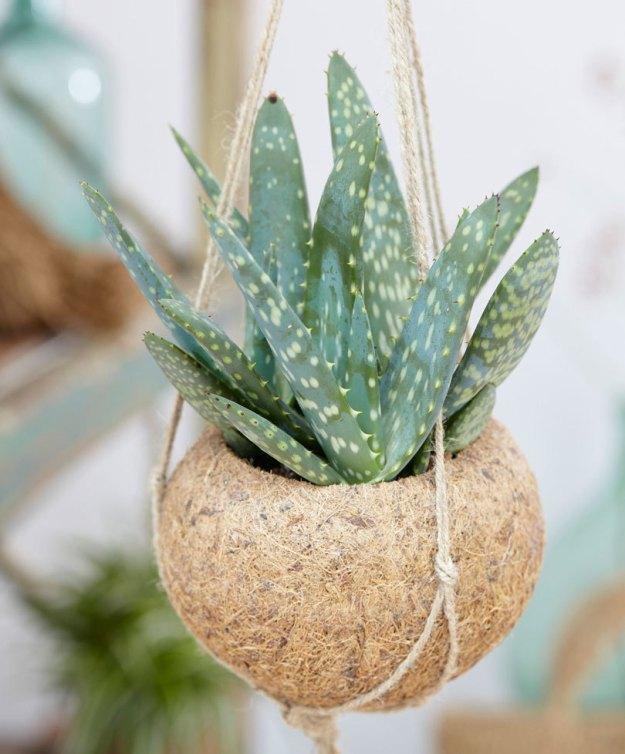 10 plantes suspendues top d co une plante pour mon bureau - Entretien aloe vera interieur ...
