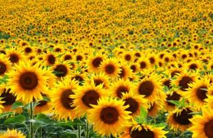 Guangzhou Sunflower Garden