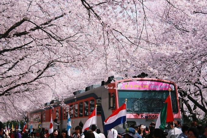 ga tàu gyeonghwa là một địa điểm ngắm hoa anh đào