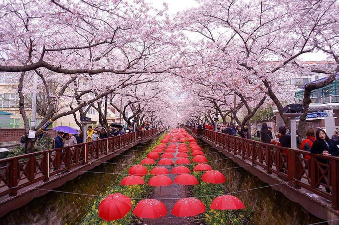 suối yeojwacheon là một địa điểm ngắm hoa anh đào