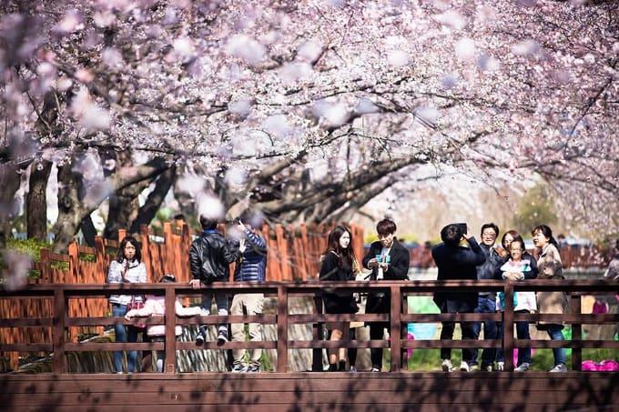 suối yeojwacheon là một địa điểm ngắm hoa anh đào ở hàn quốc