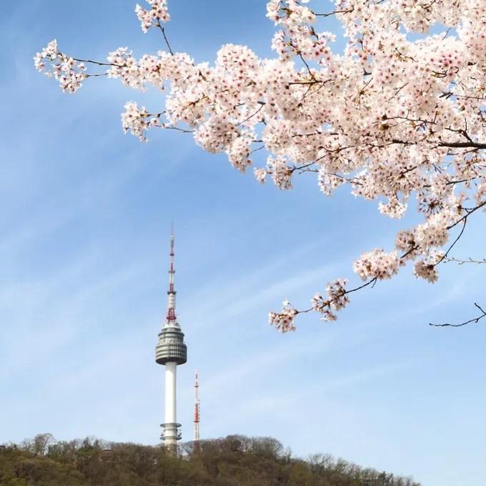 công viên namsan là một địa điểm ngắm hoa anh đào