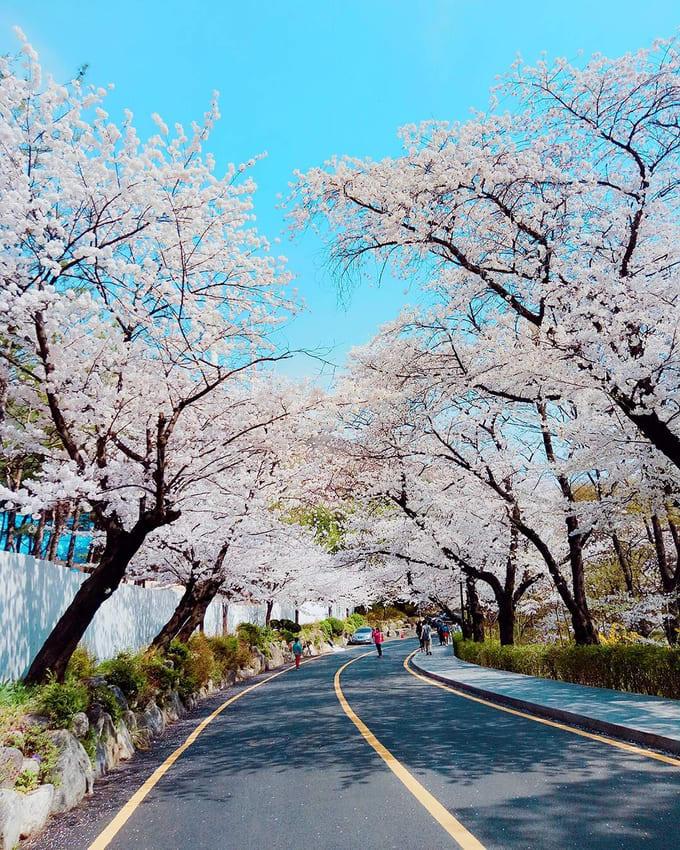 công viên namsan là một địa điểm ngắm hoa anh đào ở hàn quốc